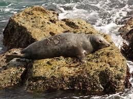 Cornwall Seal